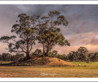 Eucalypts with sheep at sunset - Limited Edition 25